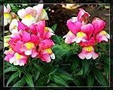 1bag = 100pcs semi bocca di leone giapponese d'oro regalo semi di fiori di pesce come mini vaso decorazione della casa e giardino bonsai