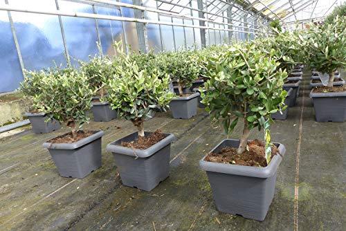 Olivenbaum Bonsai im Dekotopf Formgehölz, Olive winterhart, Olea europaea