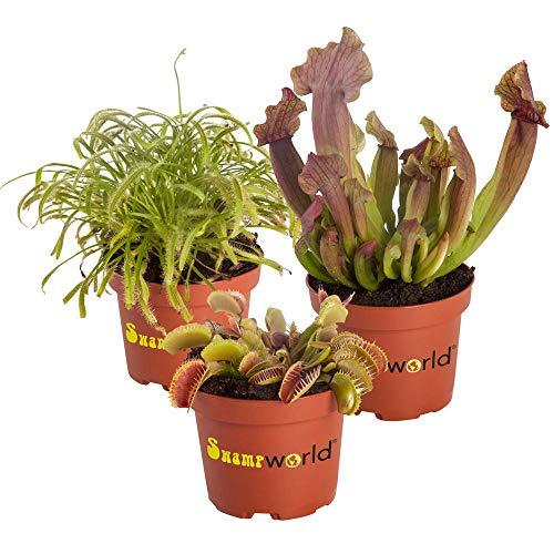 Swampworld Fleischfressende Pflanzen Set - 3 Stück - Venusvliegevalle, Sonnetau und Schlauchpflanze - Topfgröße Ø 9 cm - Pflanzenhöhe 10-20 cm