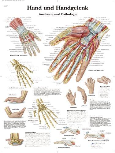 3B Scientific Lehrtafel laminiert - Hand und Handgelenk