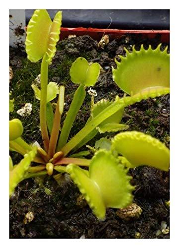 "Venus-Fliegenfalle""Werewolf"" / 10 Samen/inkl.Karnivorenerde (Dionaea muscipula)"