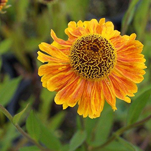 Helenium Hybride 'Wyndley' - Sonnenbraut, im 1,0 Liter Topf, goldgelb blühend
