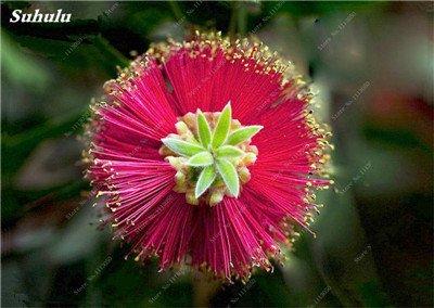 100 PC/Beutel seltene Regenbogen-Eukalyptus-Blüte Samen, Tropischer Baum Samen, Eukalyptus-Anlage für Hausgarten Zier Bonsai 14