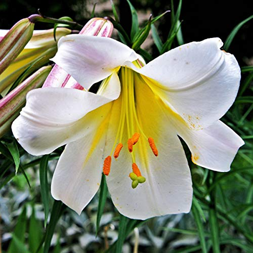 Kiepenkerl Blumenzwiebel Lilie \'Königslilie\' | mehrjährig | Trompetenlilien | weiße Blüten | 1 Knolle