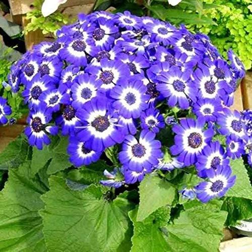 300Pcs Rare Blue Bellis Seeds Garden Flower Bonsai Balcón Decoración En El Patio Semillas de Bellis Perennis