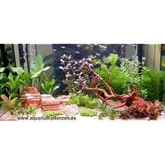 Mühlan Wasserpflanzensortiment für Liebhaber von Salmlern, asiatisch, schnellwachsend inkl. Dünger