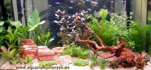 Mühlan - Wasserpflanzensortiment für Liebhaber von Salmlern, asiatisch, schnellwachsend inkl. Dünger