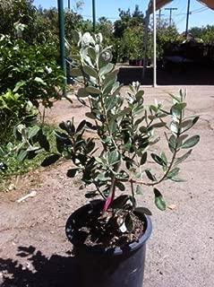 Best guava plant nursery Reviews