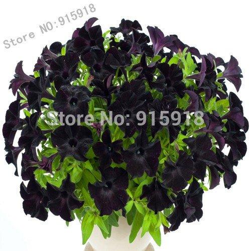 Belles graines de pétunia de velours noir de Bonsai fleurs graines variété rare, hardy, balcon durable, cour fleur