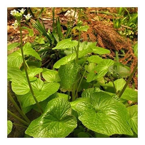Wasabi seeds - Japanischer Meerrettich - 10 Samen