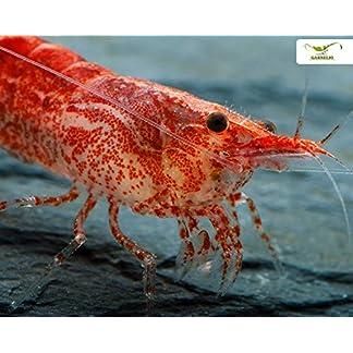 Red Fire Garnele Neocardina davidi