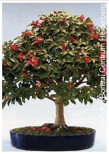 TROPICA - Camélia du Japon (Camelia japonica) - 4 graines- Bonsai