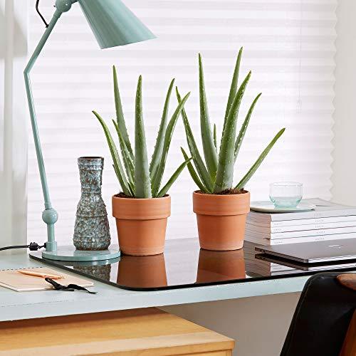 Aloe vera  Set di 2 aloe vera inclusiVasi decorativi  Effetti curativi   Altezza 30-35 cm  Vaso Ø 12 cm