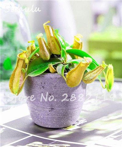 60 Pcs vivaces Nepenthes Seeds Carnivores Venus Fly Trap plus chaud du monde des plantes Graines Bonsai Garden Seed Color Mix Livraison gratuite 4