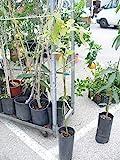 Albero di avocado, pianta di avocado, ca. 120-140 cm,