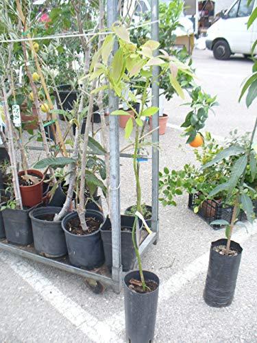 Avocado-Baum, Avocadopflanze ca. 110-140 cm, veredelt,