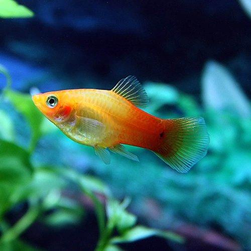 (熱帯魚)サンセットプラティー(約3-4cm)<6匹>[生体]