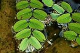 Piccola felce da nuoto, piccola felce, salvinia Natans, piante acquatiche/piante galleggianti