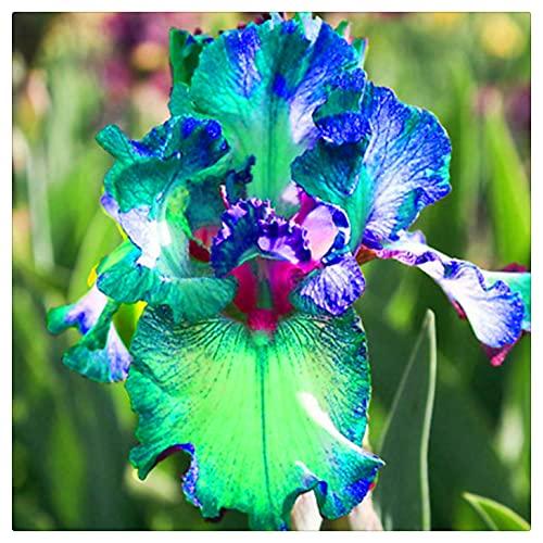 Hermosas Flores Cortadas,Planta rara,Diosa Arcoiris,Flores floreciendo,Planta rara,Bulbos De Iris,Plantar ahora-3 Bulbos,3