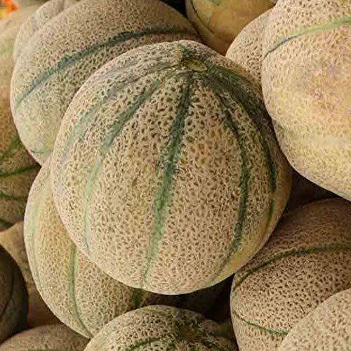 Honig-Felsen 20 Samen Cucumis melo Erbstück Non-GMO Süß Hohe Brix Cantaloupe