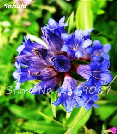 Haute qualité bonsaïs 100 Pcs Largeleaf gentiane Graines vivace Fleur bleue Graine Blooming Plantes Diy jardin Ménage 1