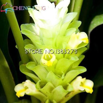 Pinkdose® auf 20 Bonsai-Kurkuma Curcuma Longa Heilkräutersamen leicht zu züchten Garten frische Bonsai-Töpfe Bonsai-Pin: