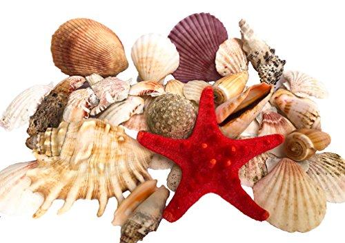 wattkiste MUSCHELMIX - schöne Dekomuscheln zum Dekorieren & Basteln | große Muscheln - 15cm Muschelkorb