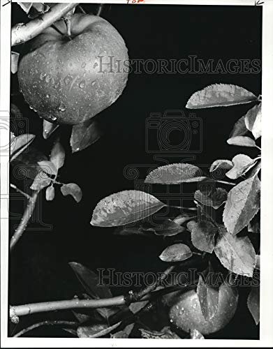 Historic Images 1982 Press Photo Rome Beauty Apples