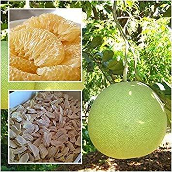 Germination Les graines: Pomelo 20 graines, Pomelo Pamplemousse, Citrus Maxima, Fruits, Graines de Thaïlande