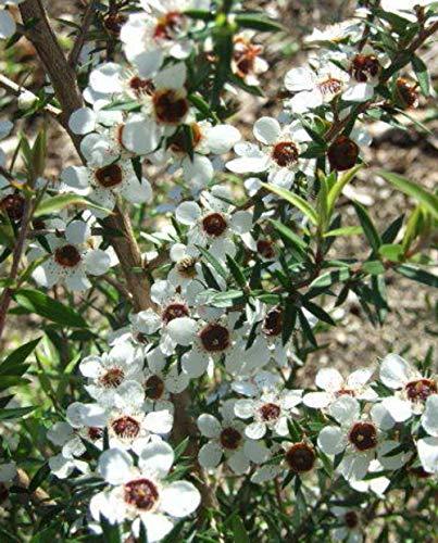 MANUKA Pflanze 'Leptospermum Scoparium' Mellifera - im Topf Ø 17 cm - H. 60/70 cm