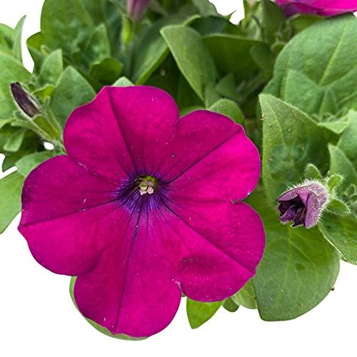 Hängepetunie lila im 6er-Set, Petunia, großblumig, Topf 12cm Ø
