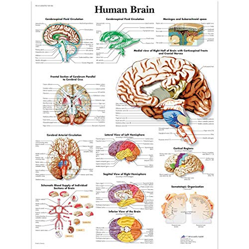 "3B Scientific VR1615UU Glossy Paper Human Brain Anatomical Chart, Poster Size 20"" Width x 26"" Height"