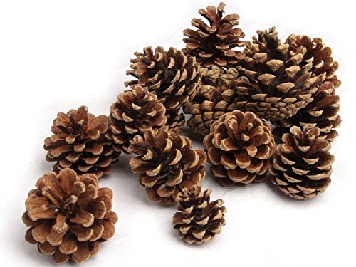 NaDeco Tannenzapfen ca. 5-6cm 1kg schöne große Tannenzapfen für Ihre Advents- und Weihnachtsdekoration