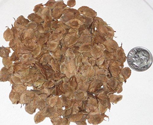 Chinesische Ulme Seed Pack, Chinesische Ulme Samen Ideal für Bonsai-Bäume 25
