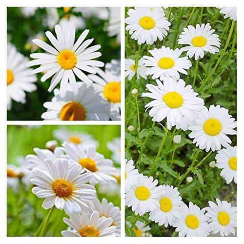 Aerlan Samen saatgut winterhart mehrjährig,Weiße Kristall Gänseblümchen Samen Garten Topf Gänseblümchen kleine weiße Chrysanthemen Spezies-200 Kapseln,Bunte Blumen