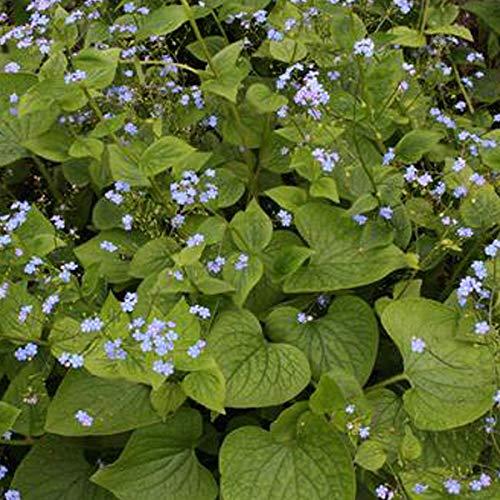 4 x Brunnera Macrophylla - Kaaps vergeet me nietje pot 9cm x 9cm