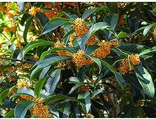 Apricot Echo Orange Tea Olive - Live Plant - Trade Gallon Pot