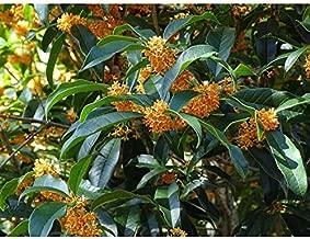 New Life Nursery & Garden- - Apricot Echo- - Orange Tea Olive- - osmanthus, Trade Gallon Pot,
