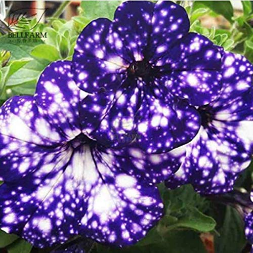 Portal Cool Cole 100 Seeds: Survival Heirloom Vegetable&Fruits Seeds Garden Non GMO/Hybrid Organic Plant Lot