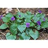 種:50+バイオレット植物、ヴィオラ、オーガニックバイオレット、工場