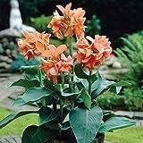 Canna indica - Indisches Blumenrohr' TROPICAL SUNRISE'2 Rhizom