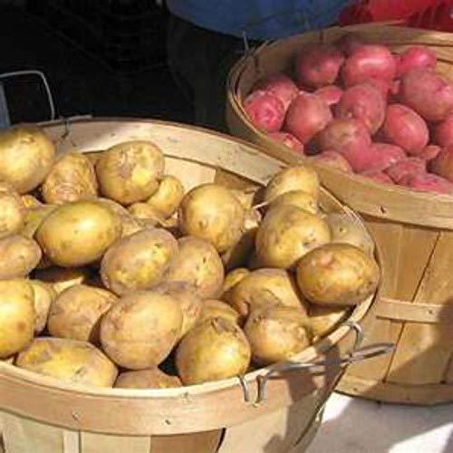 GEOPONICS RED PONTIAC - 5 lb. Saatkartoffeln - Live-Bio-Heirloom Vegable Tubers