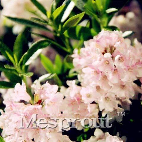 100 Stücke Seltene Hododendron Micranthum Blumensamen, Rhododendron Samen Bonsai Pflanzen Samen Für Hausgarten Bonsai Pflanze Blume