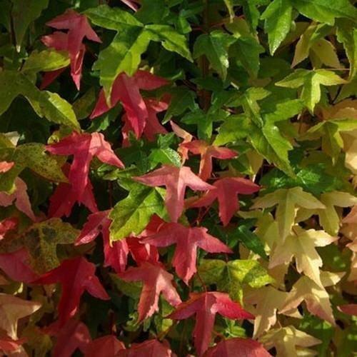 Las semillas del árbol de arce tridente (ACER) buergerianum 15 + Semillas