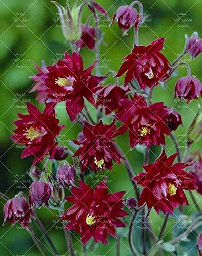100PCS Double Aquilegia (Columbine) Graines rares Bonsai Graines de fleurs longue saison Bloom plantes vivaces pour jardin 9