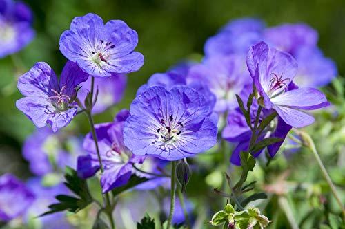 Wiesen-Storchschnabel blau 15 Samen (Geranium Pratense) reinsten Blautöne bei Geranium