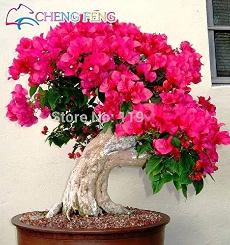 Shopmeeko 50 stücke Mix Farbe Bougainvillea Balkon Topf Yard Bonsai Blume Pflanze Unermesslich Auffällige Blühende Winterharte Kostenloser Versand Sementes: Mehrfarbige