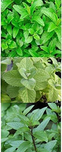 3 Arten - Minze Mischung - Apfelminze, Grüne Minze, Echte Pfefferminze Mix - 1000 Samen
