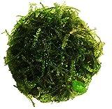 Planterest – Christmas Moss   Vesicularia Montagnei Easy Live Aquarium Plant Decorations BUY2GET1FREE