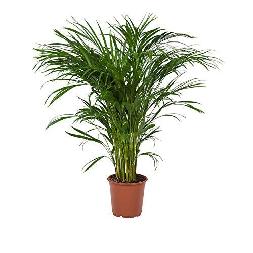 Indoor-Helden Dypsis lutescens - Areca-Palme, Topf-Ø: 21 cm Goldfruchtpalme, Madagaskar-Palme, Zimmerpalme Top-Qualität direkt vom Gärtner